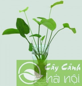 Bach Thuy tien