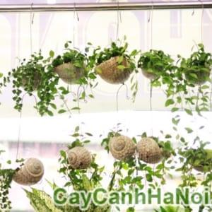 cây lan hạt dưa