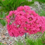 Cây hoa tường vi