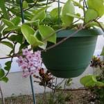 cây lan cẩm cù