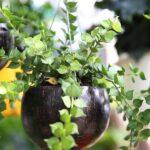 cây lan soi môi trái dừa