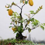 Cây khế bonsai