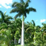 Cây Cau Vua