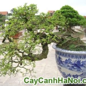 Cây Duối Bonsai