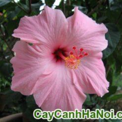 Cây Hoa Bông Bụp