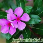 Cây Hoa Dừa Cạn