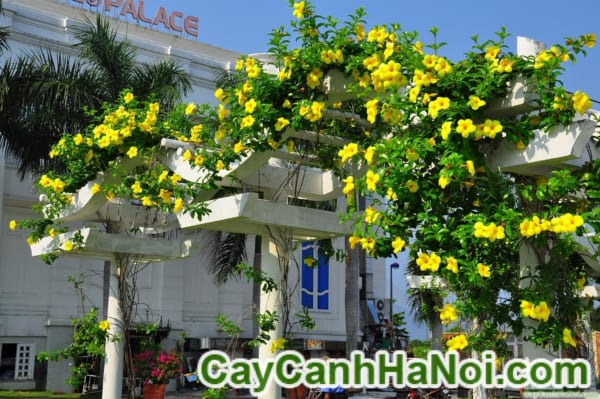Cây Hoa Huỳnh Anh (2)