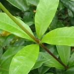 Cây Hoa Huỳnh Anh (6)