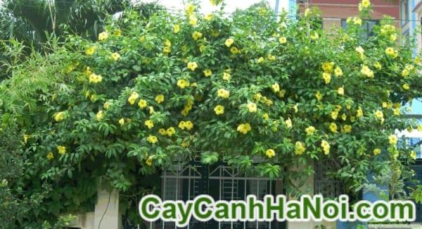 Cây Hoa Huỳnh Anh