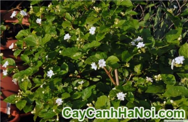 Cây Hoa Lài Tây4