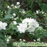 Cây Hoa Lài Trâu