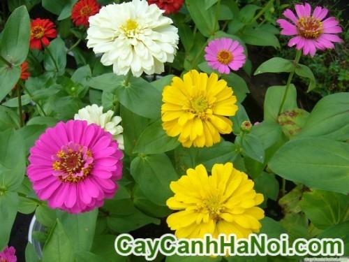 Cây hoa cúc nhám