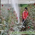 Cây hoa hồng gốc – hoa hồng Đà Lạt