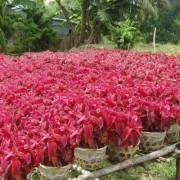 Cây lá gấm đỏ