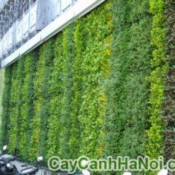 cây tường gừa