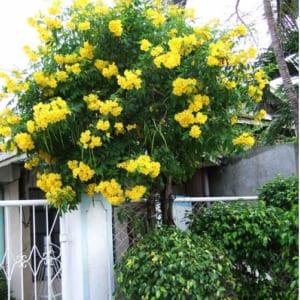 Cây Huỳnh liên