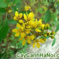 Cây Hoa Kim Đồng Vàng