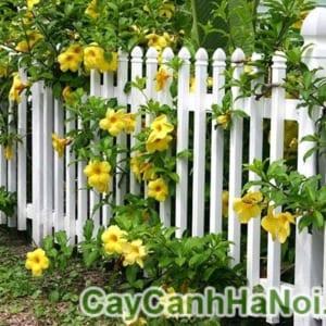 Cây Huỳnh Anh Trồng Hàng Rào