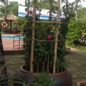 Cây Hoa Hồng Leo Trồng hàng Rào