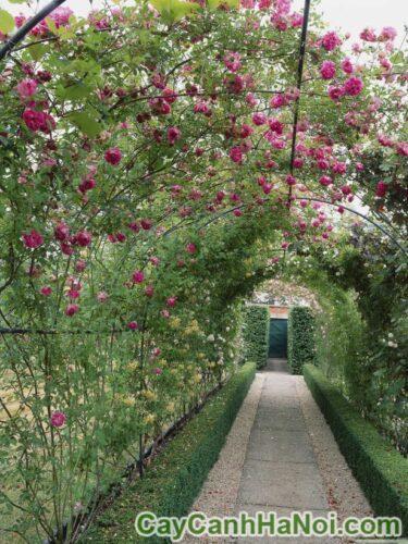 Chọn cây dây leo nào phù hợp cho giàn hoa?