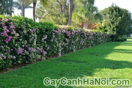 Cây dây leo có hoa cho khu vườn nhà bạn