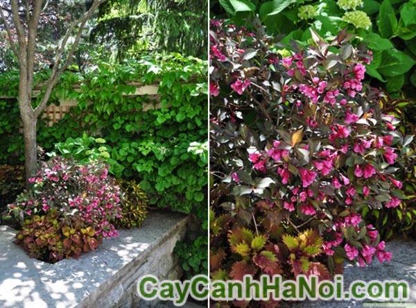 Thay đổi cảnh quan khu vườn với cây lá gấm