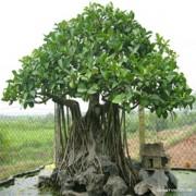 cây đa