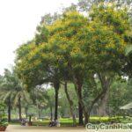 cây điệp vàng