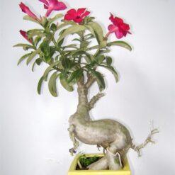 cây hoa sứ