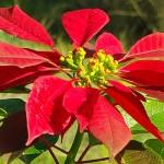 cây hoa trạng nguyên3
