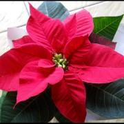 cây hoa trạng nguyên