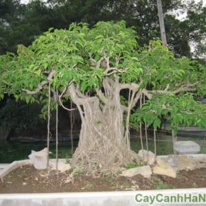 cây Sanh