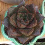 sen đá bông hồng đen