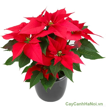poinsettia-potted
