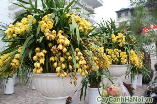 hoa địa lan