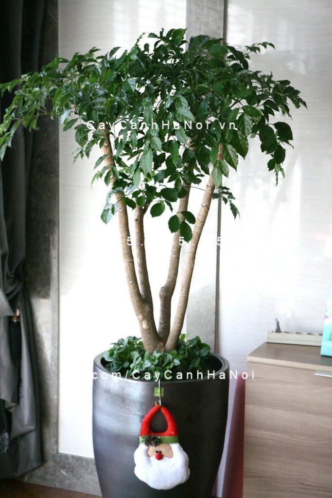 cay-hanh-phuc-2