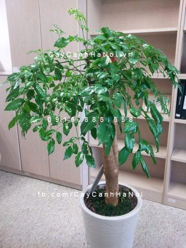 cay-hanh-phuc-6