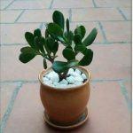 cây ngọc bích 5