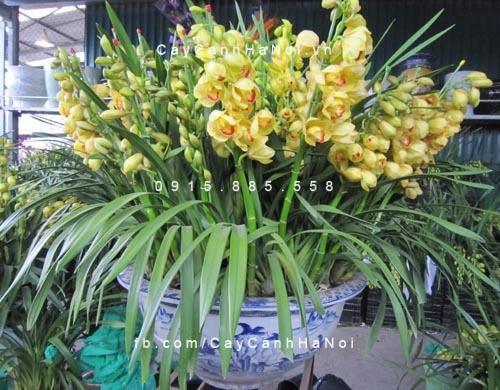 hoa địa lan 1