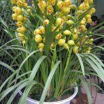 hoa địa lan 5