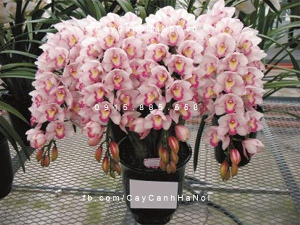 hoa địa lan 4