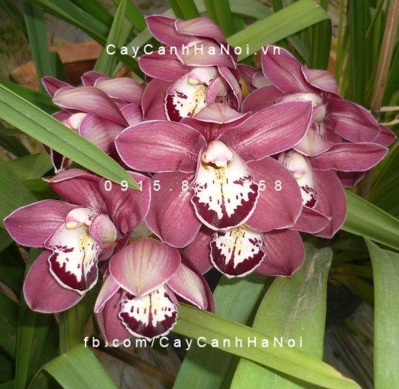 hoa địa lan 3