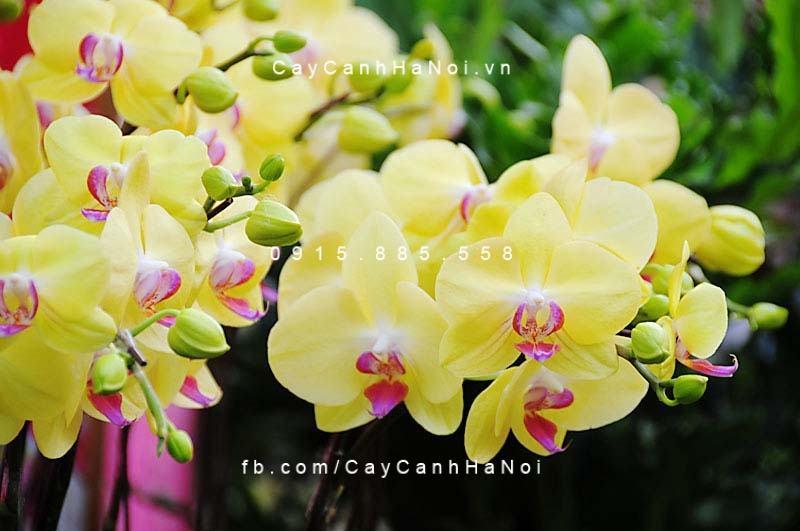hoa lan hồ điệp 5
