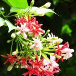 hoa sử quân tử hoa giun 1