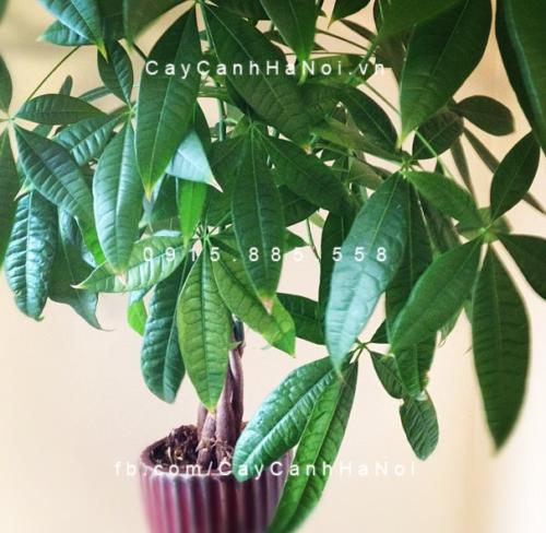 trồng cây gì trong nhà theo phong thủy