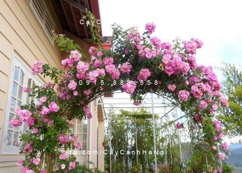 Cây hoa leo - Hoa hồng leo