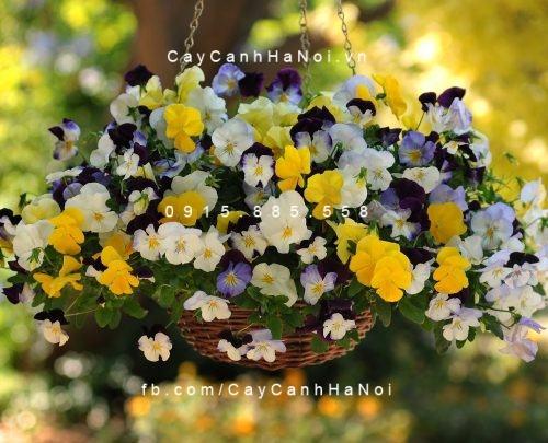 Hoa pansee