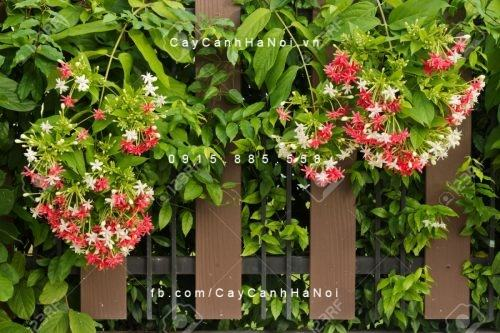 Cây hoa dây leo - Hoa Sử quân tử đơn, kép, hoa giun