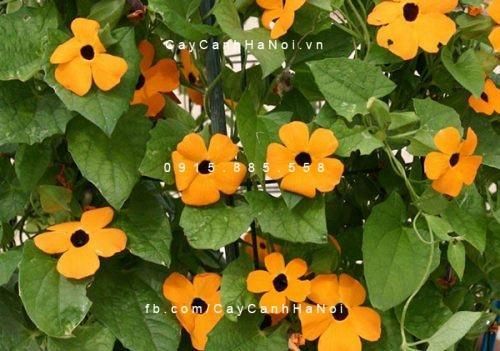 Cây hoa dây leo - Hoa Mắt huyền
