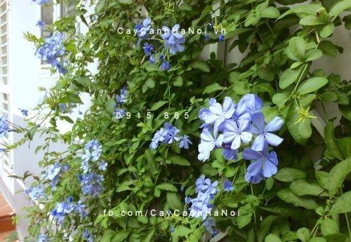 Cây dây leo - hoa leo hoa Đuôi công xanh